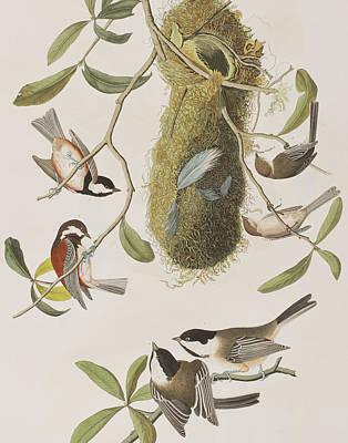 Titmouse Drawing - Titmouses by John James Audubon