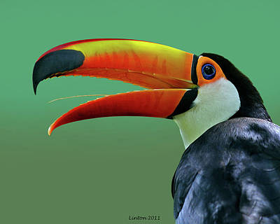 Toucan Photograph - Toco Toucan 3 by Larry Linton