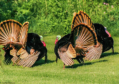 Photograph - Tom Turkeys by Tommy Anderson