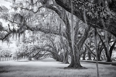 Tomotley Plantation Oaks Print by Cindy Archbell
