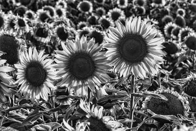 Sunflowers Photograph - Tones Of Brilliance by Mark Kiver