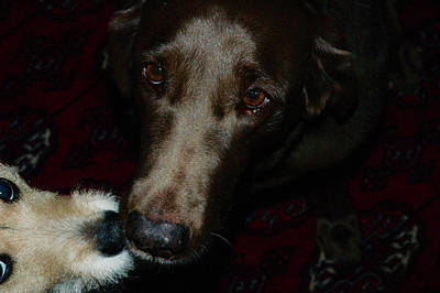 Chocolate Lab Photograph - Too Short Their Love by Ross Powell