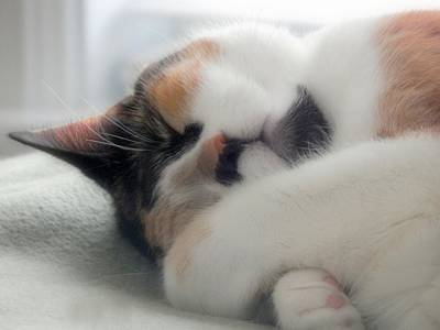 Of Calico Cats Photograph - Too Tired To Talk... by Karen Cook