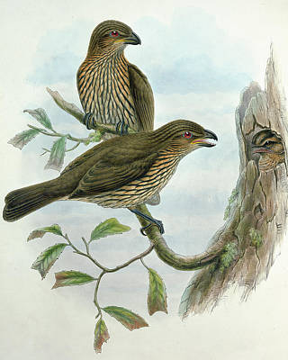 Chirp Painting - Tooth-billed Catbird by John Gould