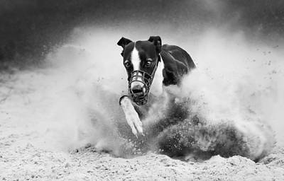 Greyhound Photograph - Training Greyhound Racing by Muriel Vekemans