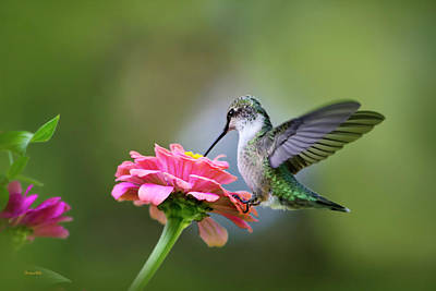 Ruby Throated Hummingbird Photograph - Tranquil Joy by Christina Rollo