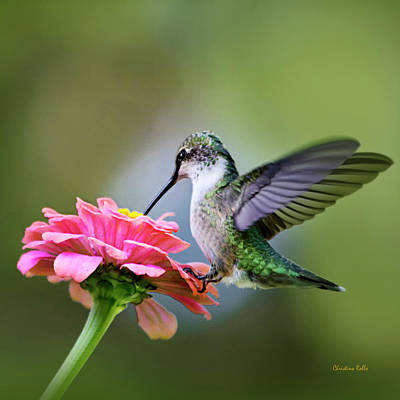 Ruby-throated Hummingbird Photograph - Tranquil Joy Hummingbird Square by Christina Rollo