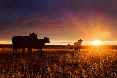 Cattle Drive Photograph - Tranquil by Thomas Zimmerman