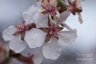 Morning Photograph - Tree Blossoms by Carolyn Brown