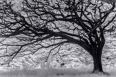 Tree Curl Print by Sean Davey
