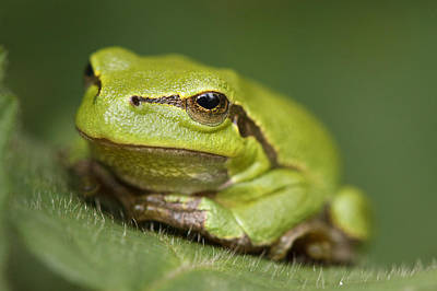 Tree Frog Photograph - Tree Frog Cose Up by Roeselien Raimond