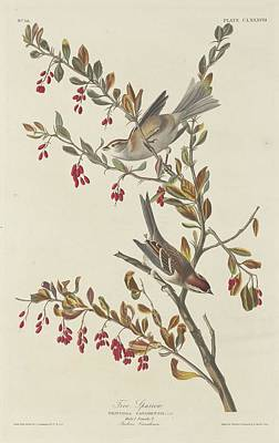 Sparrow Drawing - Tree Sparrow by John James Audubon