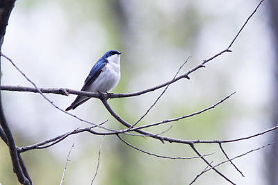 Photograph - Tree Swallow by David Yunker