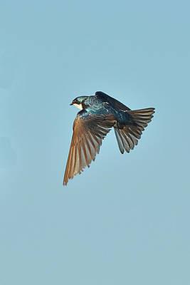 Tree Swallow Flight 5 Original by Alan Lenk