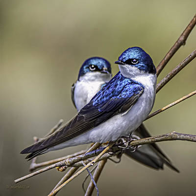 Swallow Photograph - Tree Swallows by LeeAnn McLaneGoetz McLaneGoetzStudioLLCcom