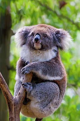 Marsupial Photograph - Treetop Koala by Mike  Dawson