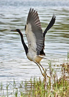 Tri Colored Heron Takeoff Print by Carol Groenen