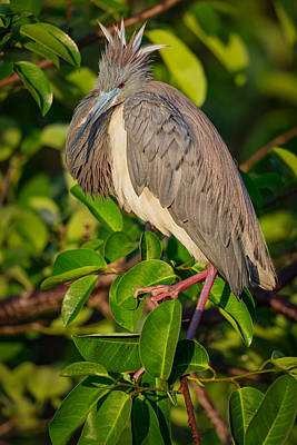 Lake Photograph - Tricolored At The Venice Rookery by Andres Leon
