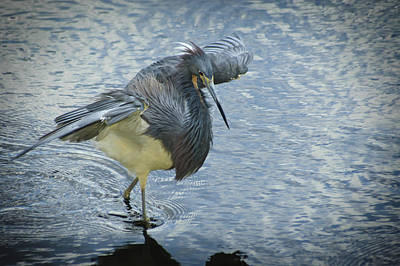Tricolored Heron Print by Carolyn Marshall