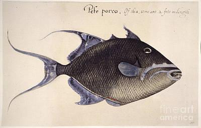 Trigger-fish, 1585 Print by Granger