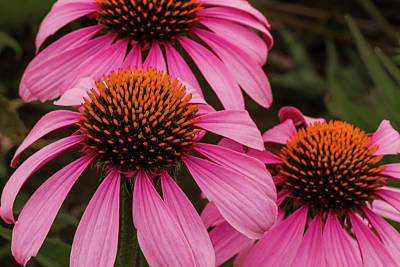 Trio Of Echinacea Print by Jean Noren