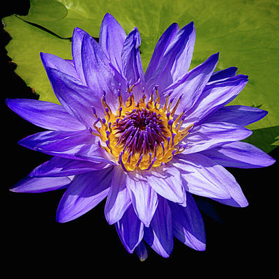 Tropical Day Blooming Water Lily In Lavender Print by Julie Palencia