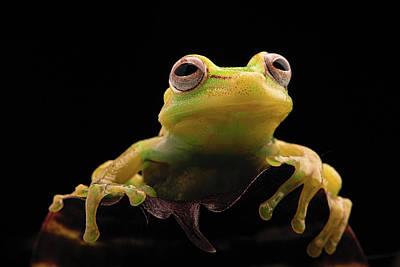 Tropical Tree Frog - Hypsiboas Punctatus Print by Dirk Ercken