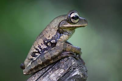tropical tree frog Peru Print by Dirk Ercken