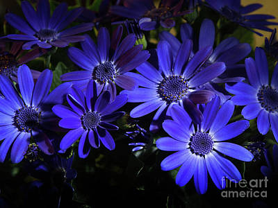 True Blue Pericallis Senetti Flowers Print by Dorothy Lee