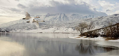 Trumpeter Swans Wintering At Deer Creek Print by TL Mair