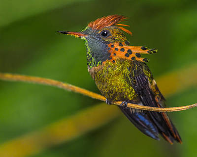 Photograph - Tufted Coquette by Tony Beck