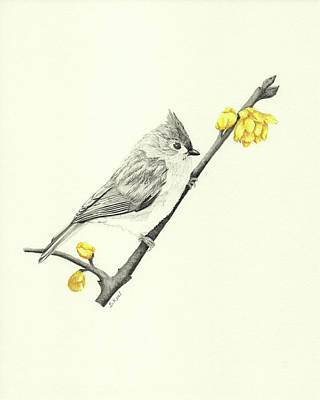 Titmouse Drawing - Tufted Titmouse by Belinda Keal