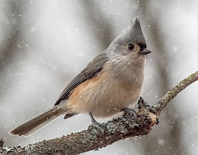 Tufted Titmouse Photograph - Tufted Titmouse In The Snow by Pat Eisenberger