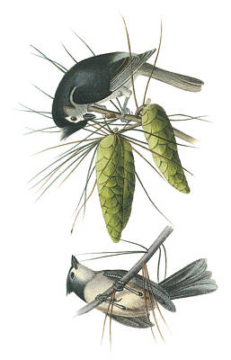 Titmouse Painting - Tufted Titmoust by John James Audubon