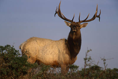Tule Elks Photograph - Tule Elk - Tomales Point by Soli Deo Gloria Wilderness And Wildlife Photography