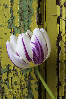 White Tulip Photograph - Tulip And Old Wall by Garry Gay