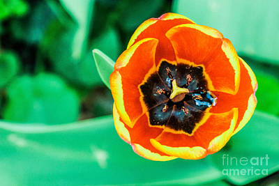 Tulip Print by Dennis Wagner