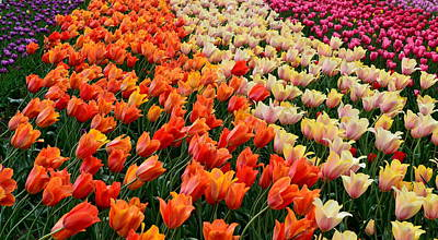 Tulip Photograph - Tulip Field With Orange And Pink by Michelle Calkins