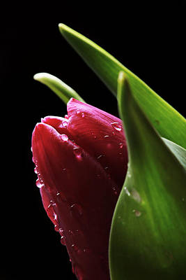 Tulip Print by Fine Arts