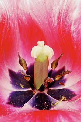 Tulip Flame Print by Michael Peychich