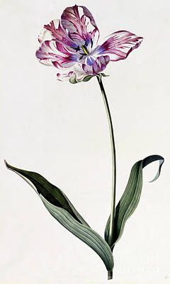 Variegated Painting - Tulip by Georg Dionysius Ehret
