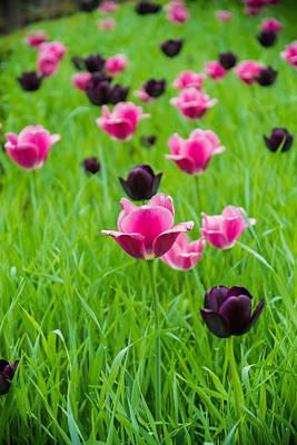 Garden Flowers Photograph - Tulip Popping by Kristopher Schoenleber