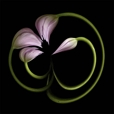Tulip Swirl Print by Virginia Paul