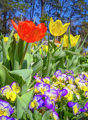 Floriade Photograph - Tulip Time - Floriade Canberra by Tony Crehan