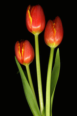 Tulip Trio Revisted Print by Deborah J Humphries