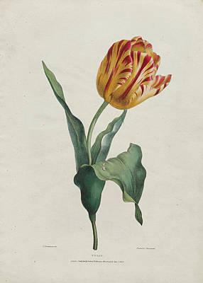Valentine Bartholomew Drawing - Tulip by Valentine Bartholomew