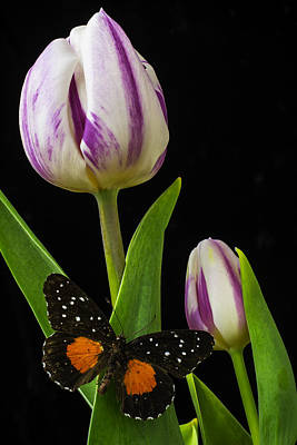 White Tulip Photograph - Tulip With Black And Red Butterfly by Garry Gay