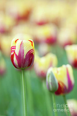 Tulip World Expression Print by Tim Gainey