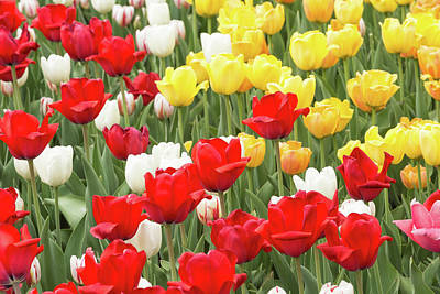 Photograph - Tulips And Colourful Flowers In Spring by Josef Pittner