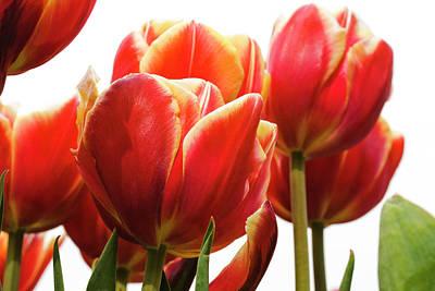 Photograph - Tulips by Bernice Williams